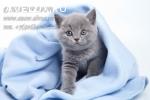 Голубые Британские котята с плюшевой шерсткой.