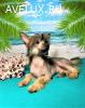Голый мальчик китайской хохлатой собаки