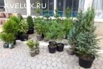 Кедр Сибирский, саженцы плодовых и декоративных растений.