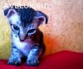 Котенок-экзот в добрые руки