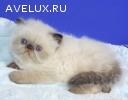 Персидский гималайский котенок Юджин