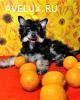 Пуховой щенок китайской хохлатой собаки