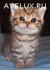 Шотландская кошечка скоттиш-страйт