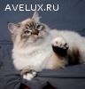 Сибирские котята колорных окрасов